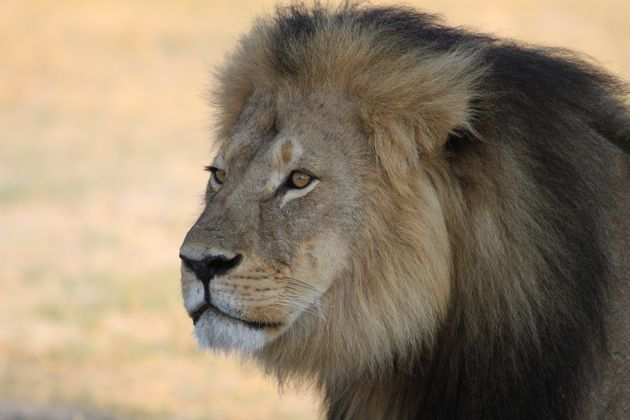 Cecil the Lion was killed by a hunter in