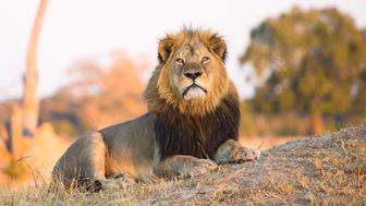Cecil the Lion at Hwange National Parks Ngweshla Pan area, Zimbabwe.