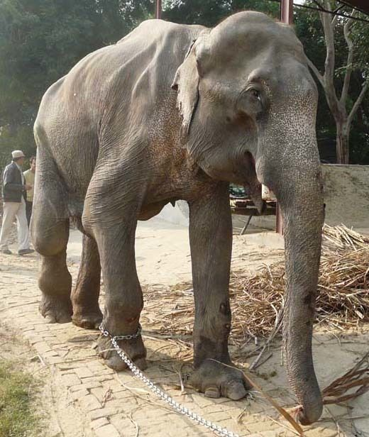 Bhola in work chains. The 45-year-old elephant was severely injured after being hit by a truck while walking a busy highway f