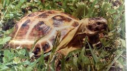 Steve The Missing Russian Tortoise Found After 3 Years As A