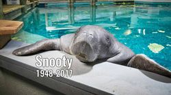 Snooty, World's Oldest Captive Manatee, Dead At