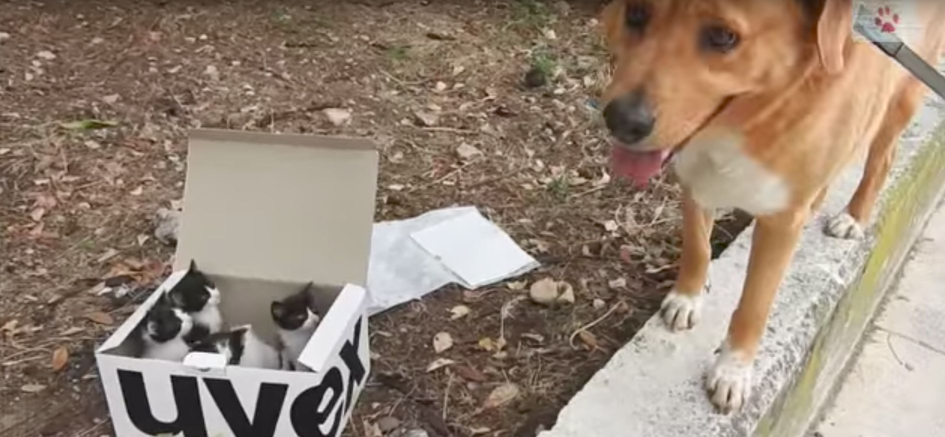 This Dog Found A Box Of Tiny Abandoned Kittens And Became Their Foster
