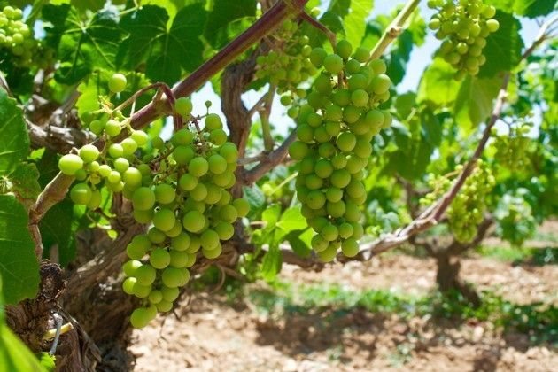 Grapes in the Bodegas Torres vineyard (Andrea Marks)