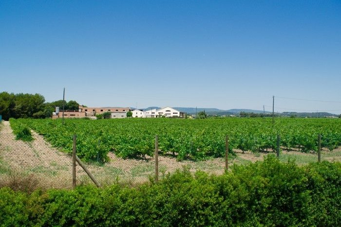 The Torres vineyard in Catalonia (Andrea Marks)