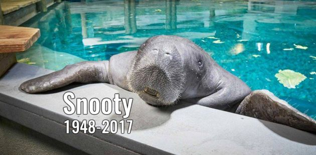 Snooty, the world's oldest-known manatee, has died at the age of