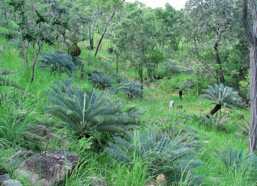 <strong>Cycads are among the species groups facing greatest threats. </strong>