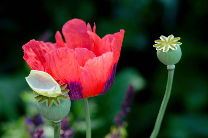 Yes poppy seeds contain opiates and heres what you need to know flowerphotos via getty images mightylinksfo