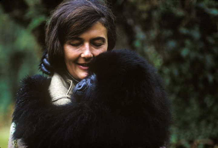 Dian Fossey holds a mountain gorilla that she nursed back to health.