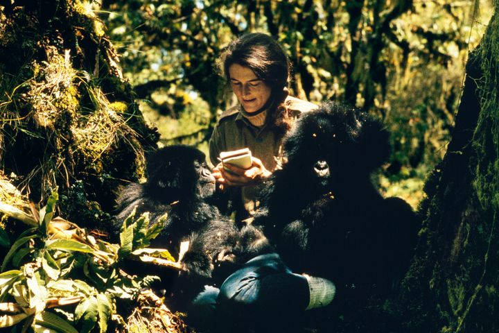 Dian Fossey with Pucker Puss, a captive 2-year-old female gorilla, and Coco, a 16-month-old male.