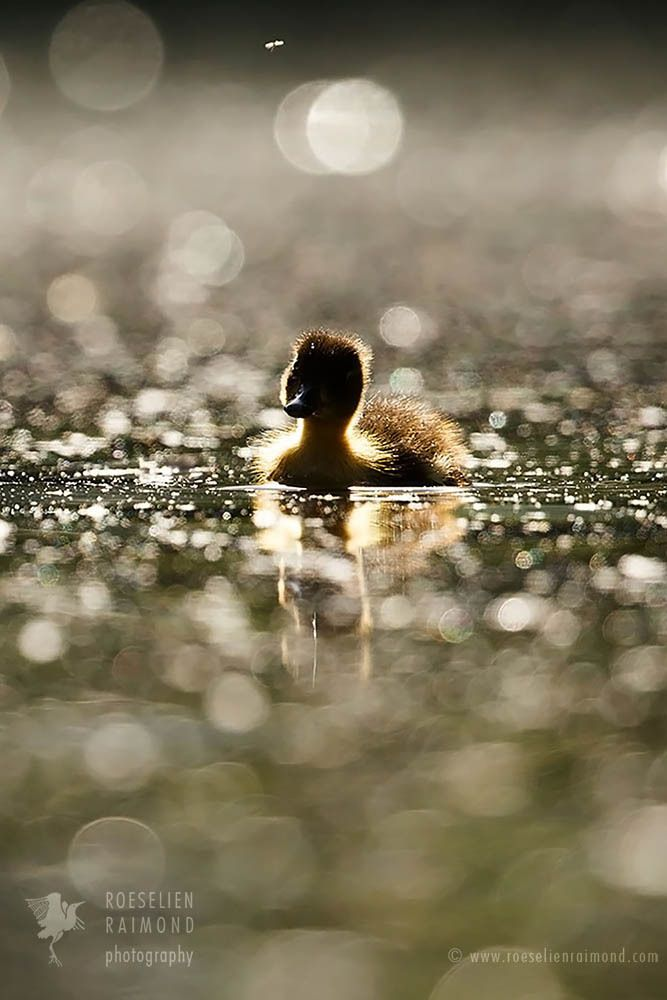 The duckling and the mosquito