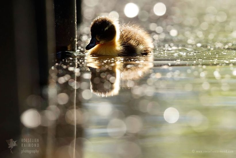 After just 3 days, just one of the eight ducklings was left
