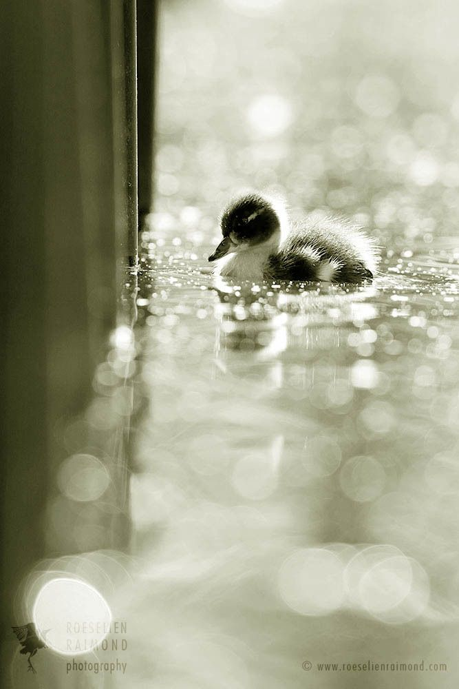 Statistically, it was likely that this lonely duckling was swimming its  last hours. And I might be wrong, but somehow it occ