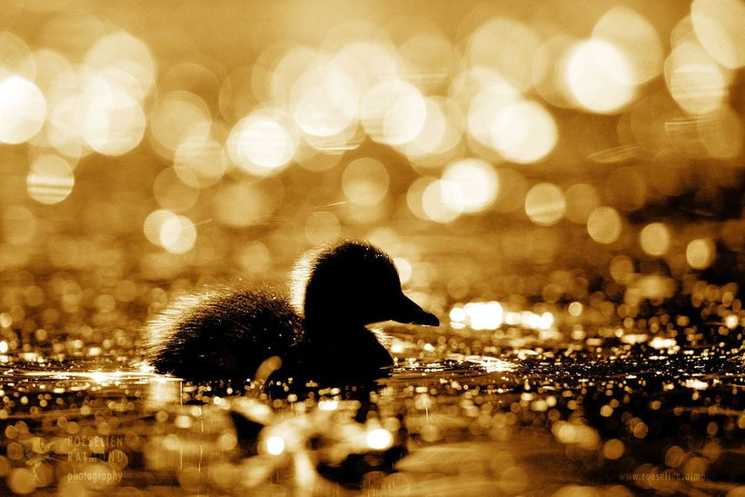 The vivid colors seemed to have disappeared. Ducking paradise had turned into duckling Armageddon ….