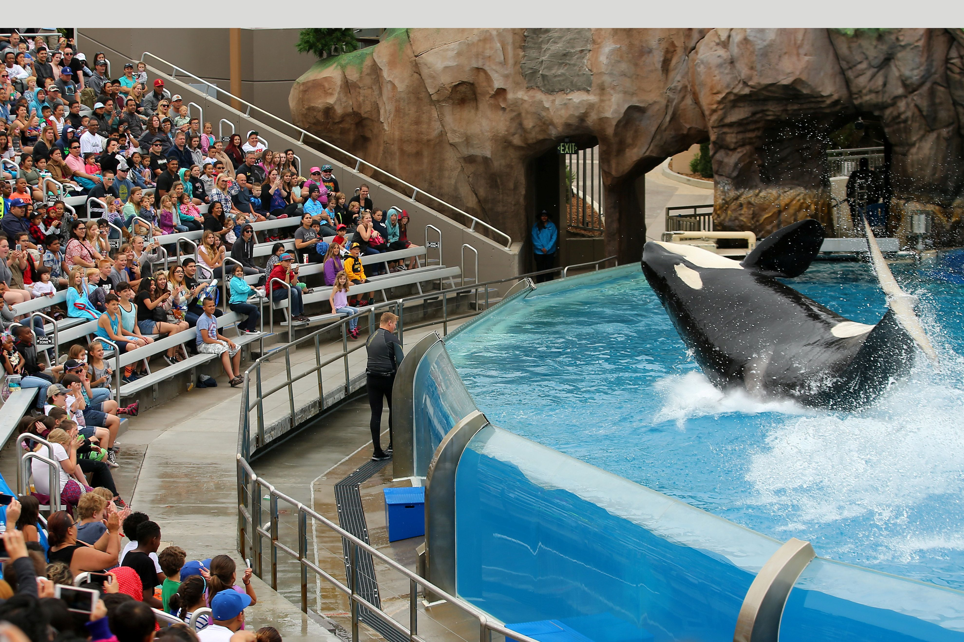 A killer whale performs for spectators at SeaWorld San Diego back in May.