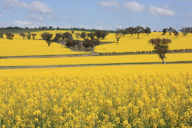Can the Right Kind of Canola Oil be a Health Food?   HuffPost
