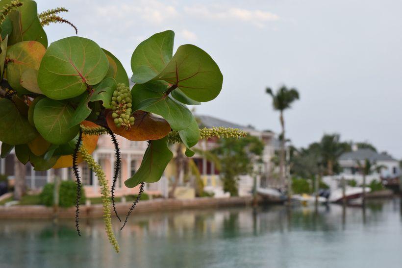 Sea Grapes at the lagoon