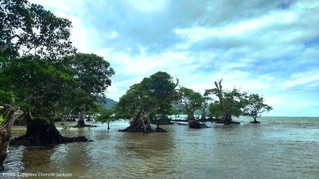Mangroves in Upolu.