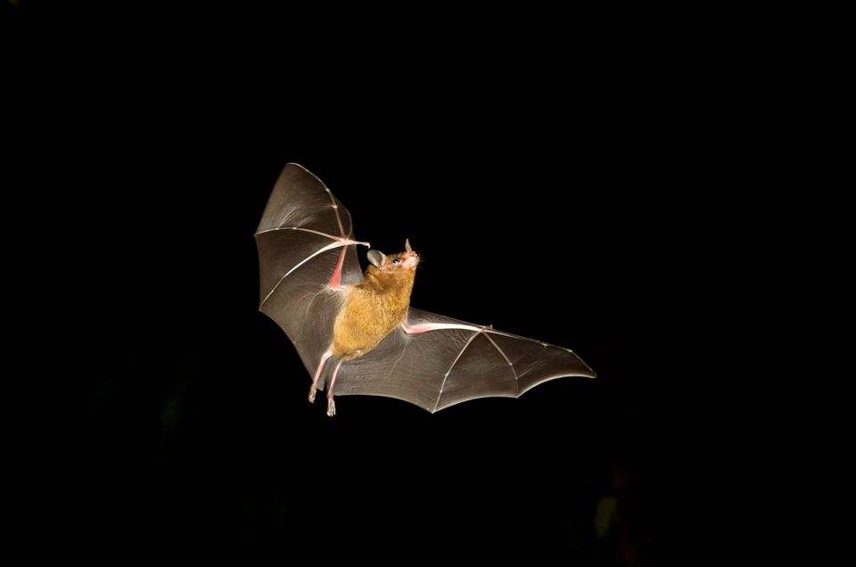 Pallas's long-tongued bat (Glossophaga soricina) flying at night. Tortuguero, Costa Rica.