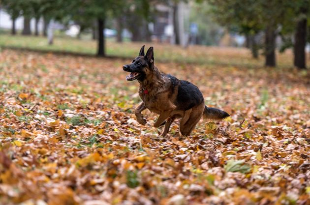 German Shepherds are suffering from a host of conditions due to selective breeding (file