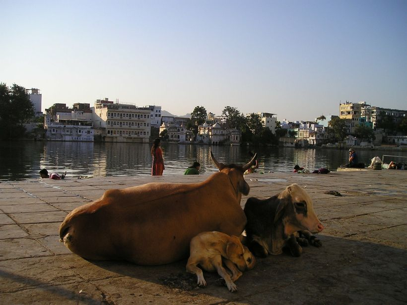Cows have traditionally been given respect in Hinduism and in India, but a recent spate of violence related to cattle has spa