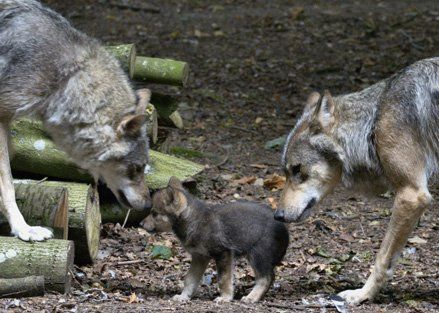 Ember and her mate, Ash, with one of their pups.