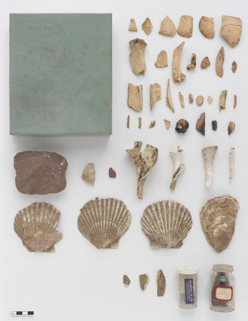 <em>Whelk, scallop and oyster shells unearthed at the College Point, Queens, prehistoric site. A stone net weight is at lef