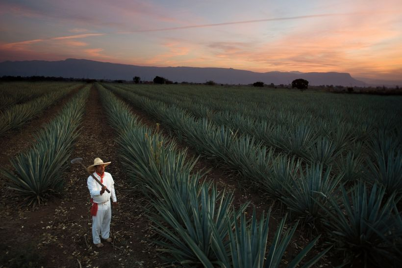 One of Casa Sauza's agave fields in Jalisco.