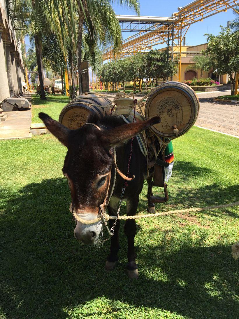 Paco, Herradura's tequila carrying donkey.