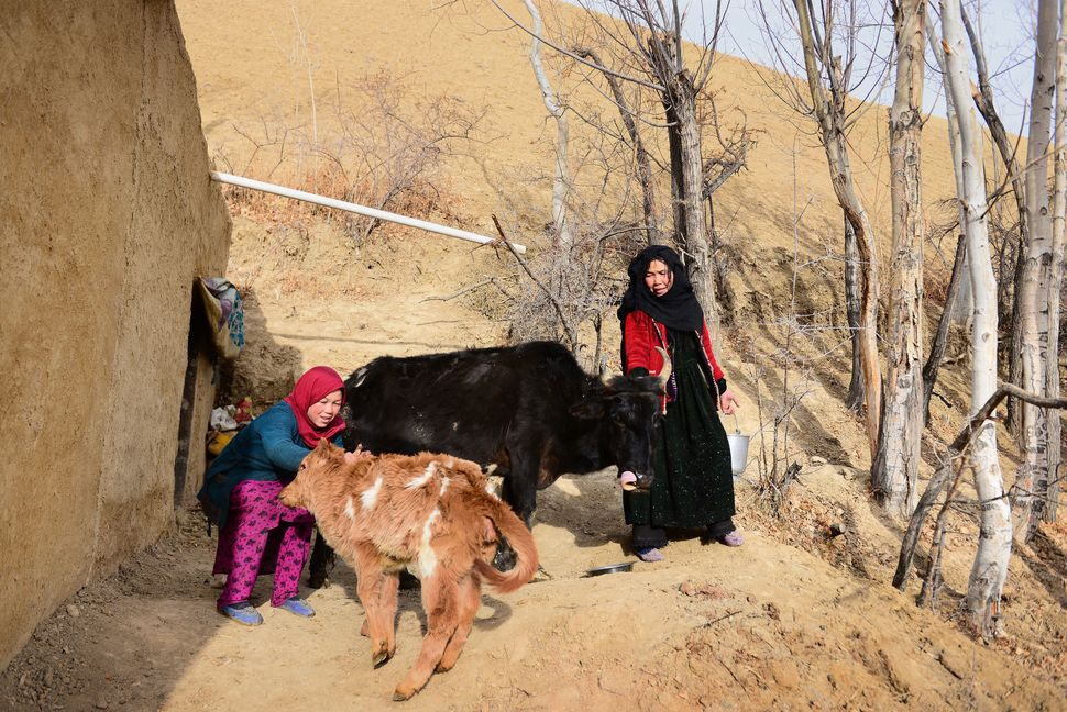 Rahima, 50, and her 14-year-old daughter go to the stable to milk their cow.