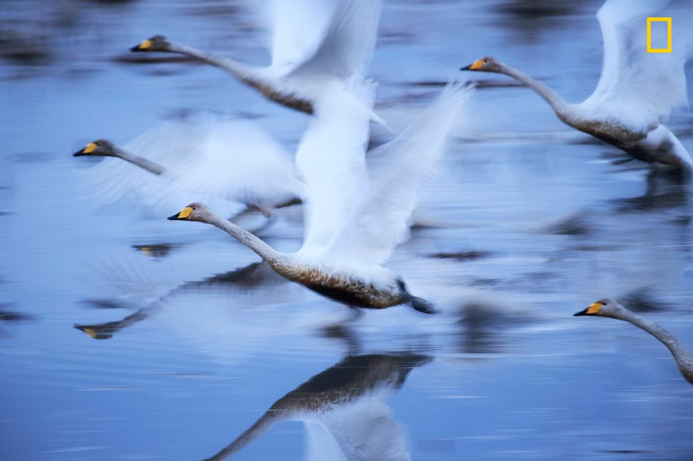 """Swans glide over the water in Kabukurinuma, Osaki, Japan, a protected wetland. Since many of Japan's wetlands have bee"