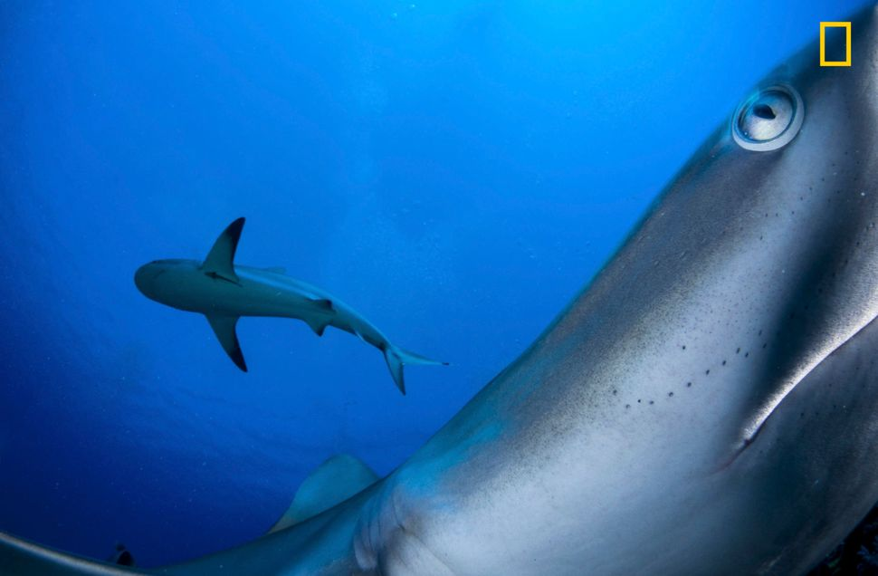 """Gardens of the Queen is a remote marine area south of Cuba. Caribbean reef sharks are usually shy, so I placed my camera on"