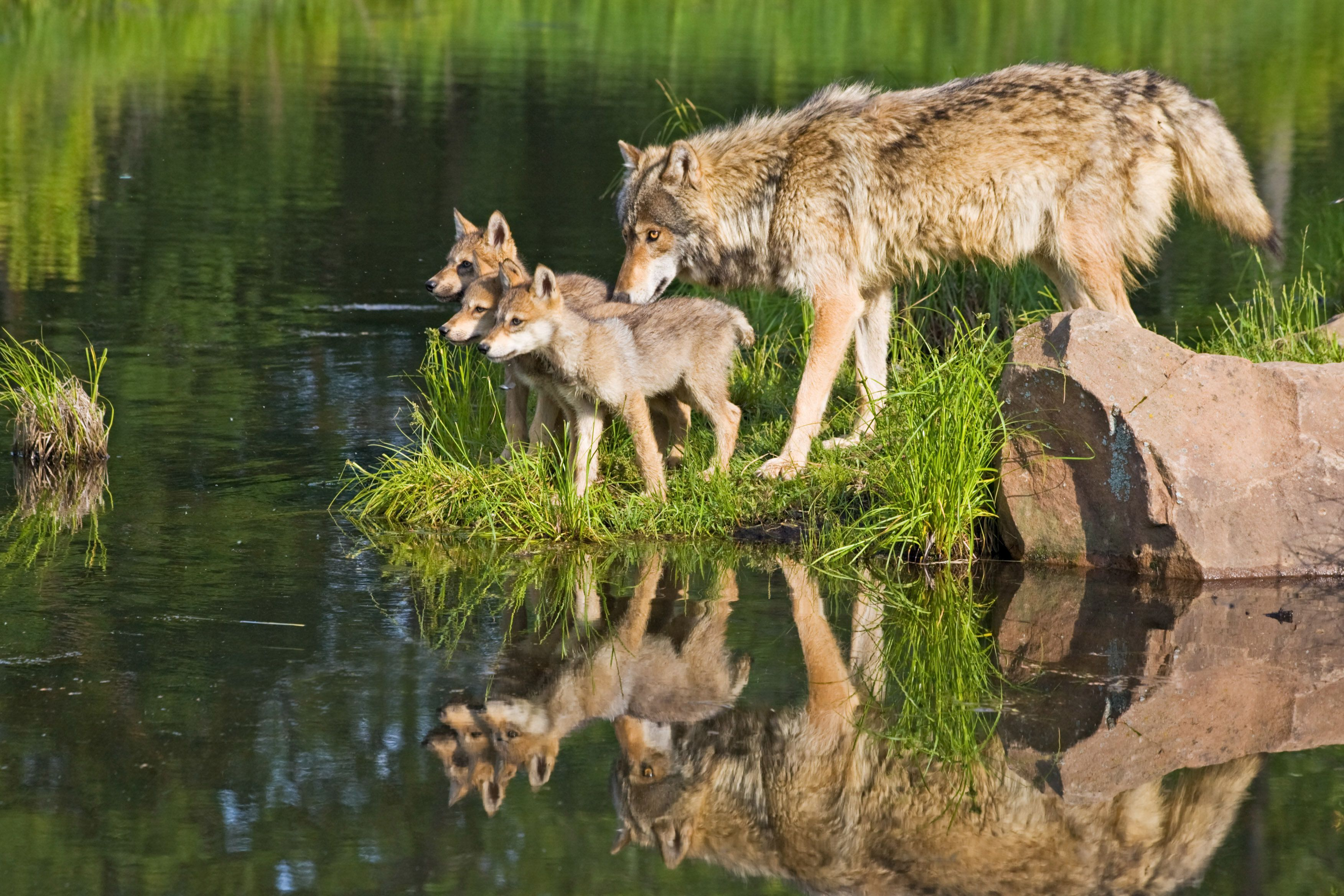 Wolf Family and Reflection, Minnesota, USA . (Photo by: Universal Education/Universal Images Group via Getty Images)