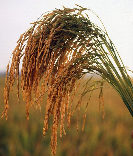 Long grain rice. Image: Flickr, Keith Weller, U.S. Department of Agriculture