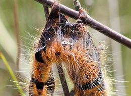 Caterpillars In The UK Being Turned Into Exploding 'Zombies' By Virus