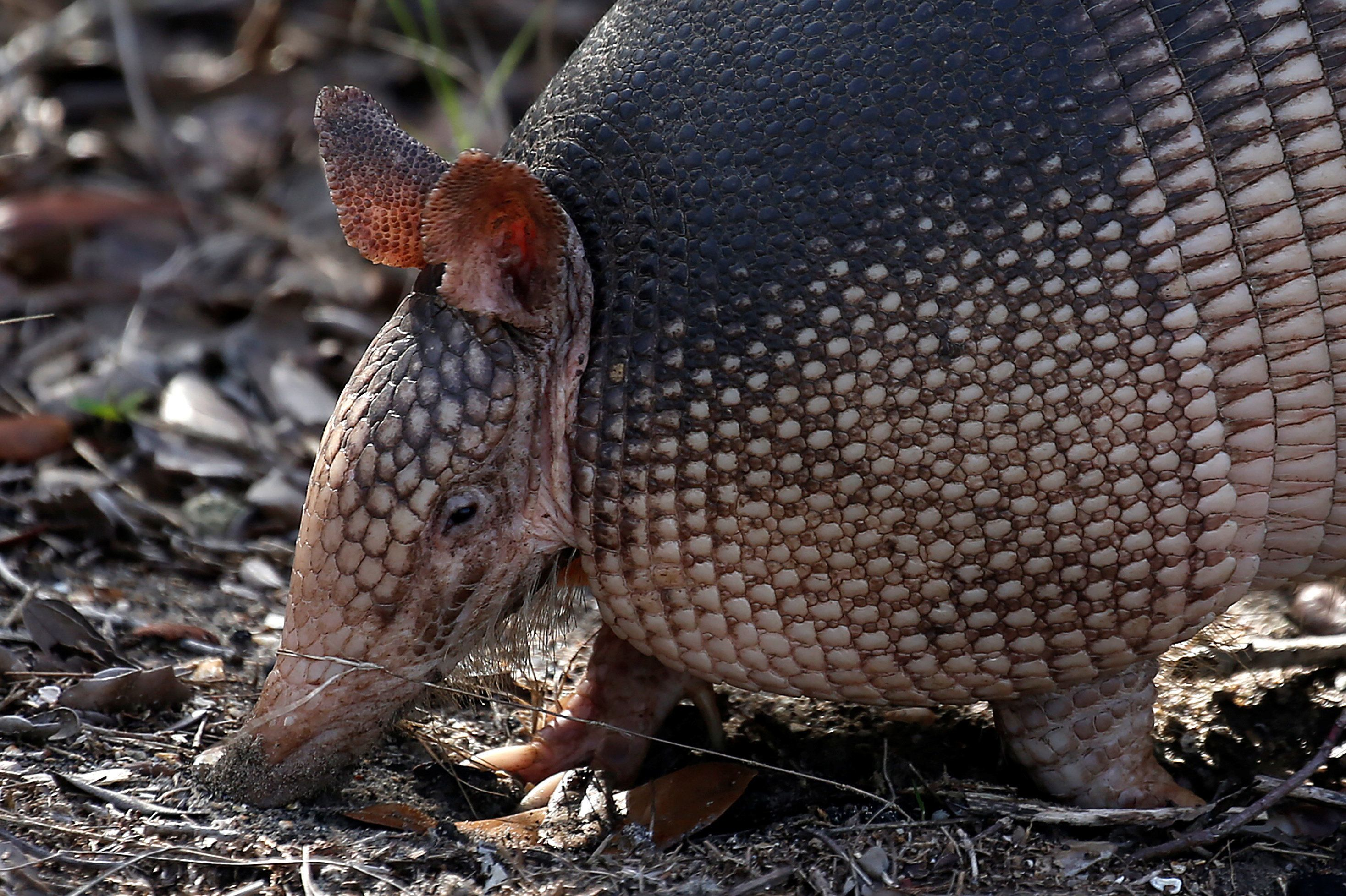 An armadillo forages for food on the ground in St Augustine, Florida January 4, 2017.   REUTERS/Carlo Allegri