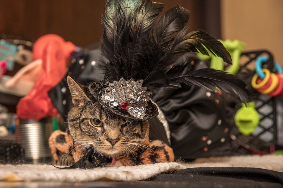 Image result for cat fashion show