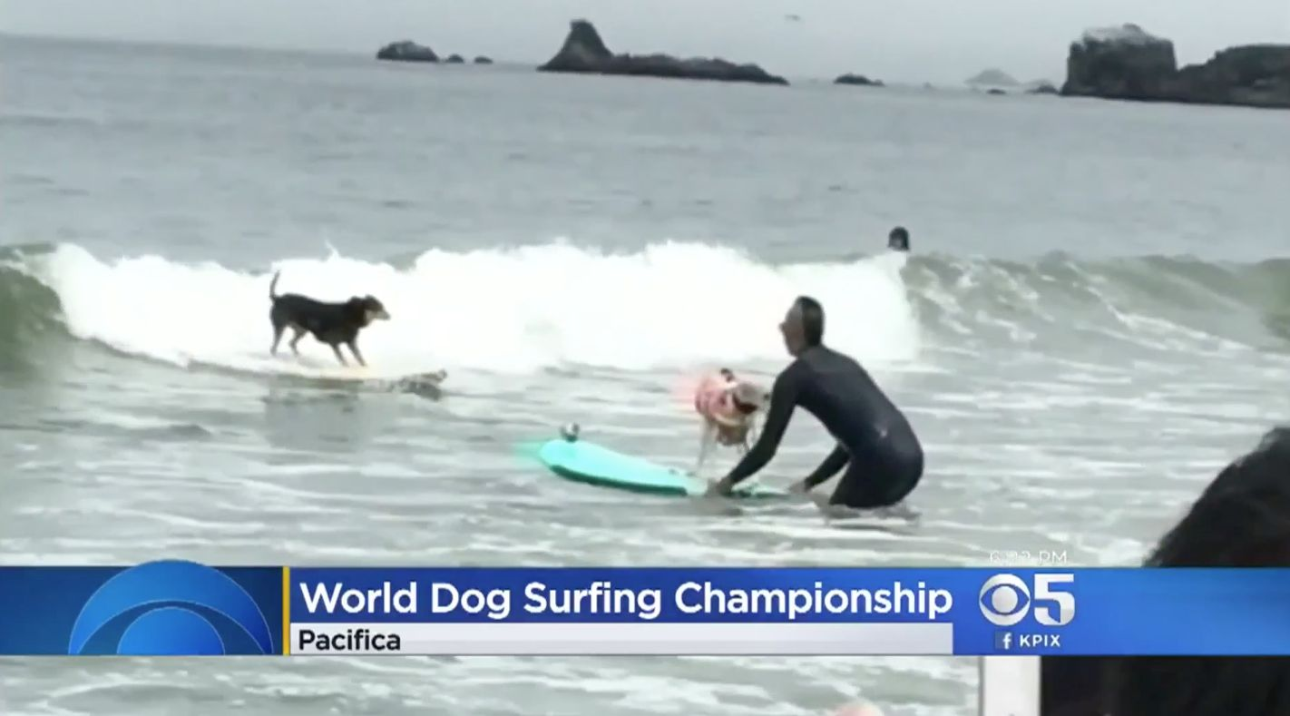 Dogs participate in a surfing contest in California