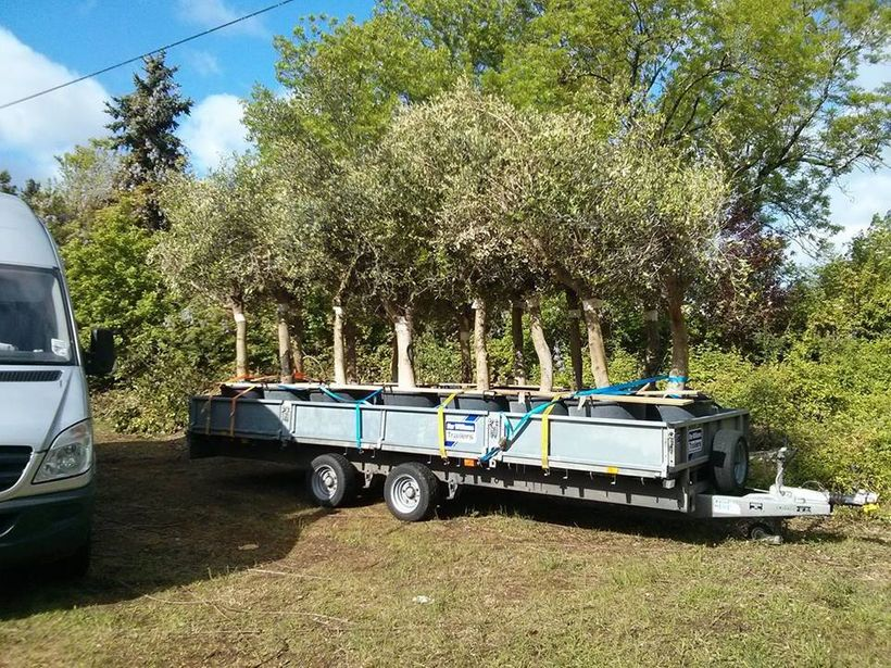 <em>A shipment of olive trees arrives to help bring the gardens back to their former beauty.</em>