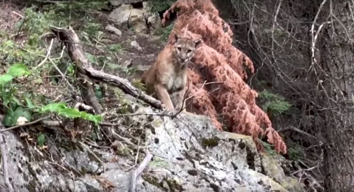 A mountain lion calmly regards a pair of hikers in California's Sequoia National Forest.