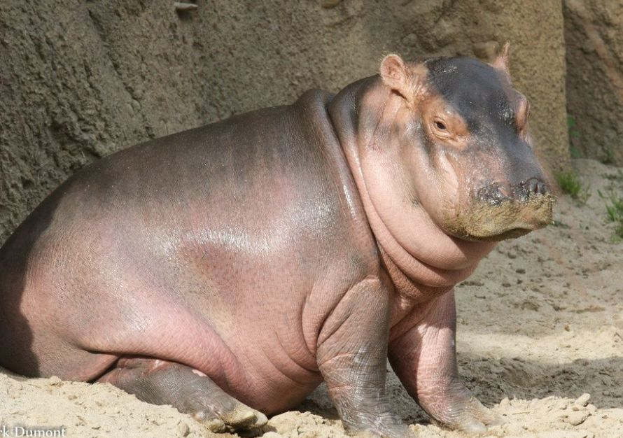 Fiona The Baby Hippo Is Getting Her Own Children's
