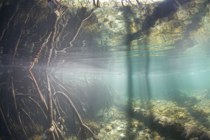 An extensive blue-water mangrove is lined by red mangrove prop roots, Rhizophora mangle, reaching into the water at high tide