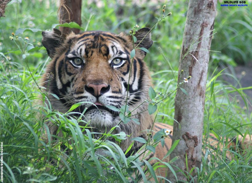 Thoughts on Tigers and Conservation in India   HuffPost