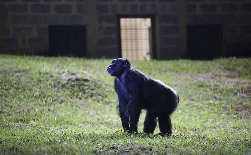 "Chimpanzee Cecilia's first day at Projeto GAP's <a rel=""nofollow"" href=""http://www.projetogap.org.br/santuarios-afiliados/sor"