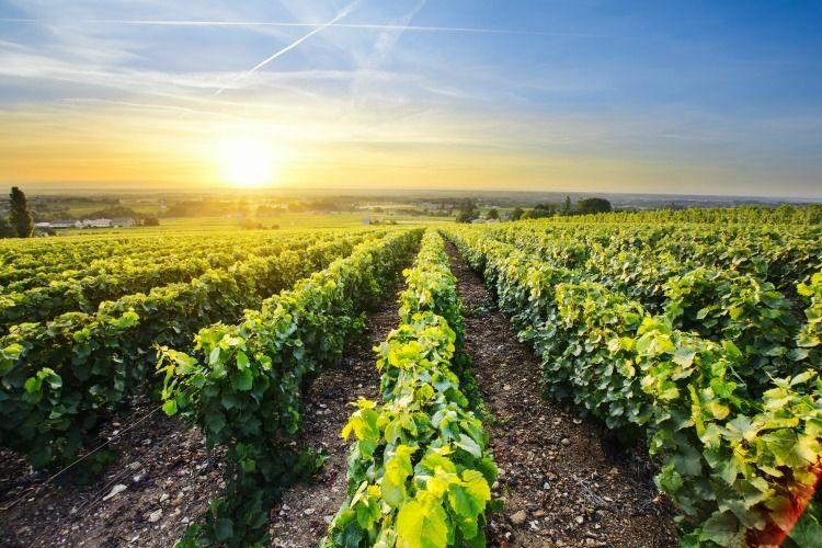 Beaujolais Vineyard at Sunset
