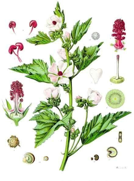 A botanical drawing of the marshmallow plant, featuring the plant as well as closeups of the flower and