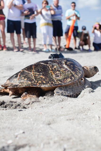 Sea turtle equipped with satellite tracker making her way back to the ocean
