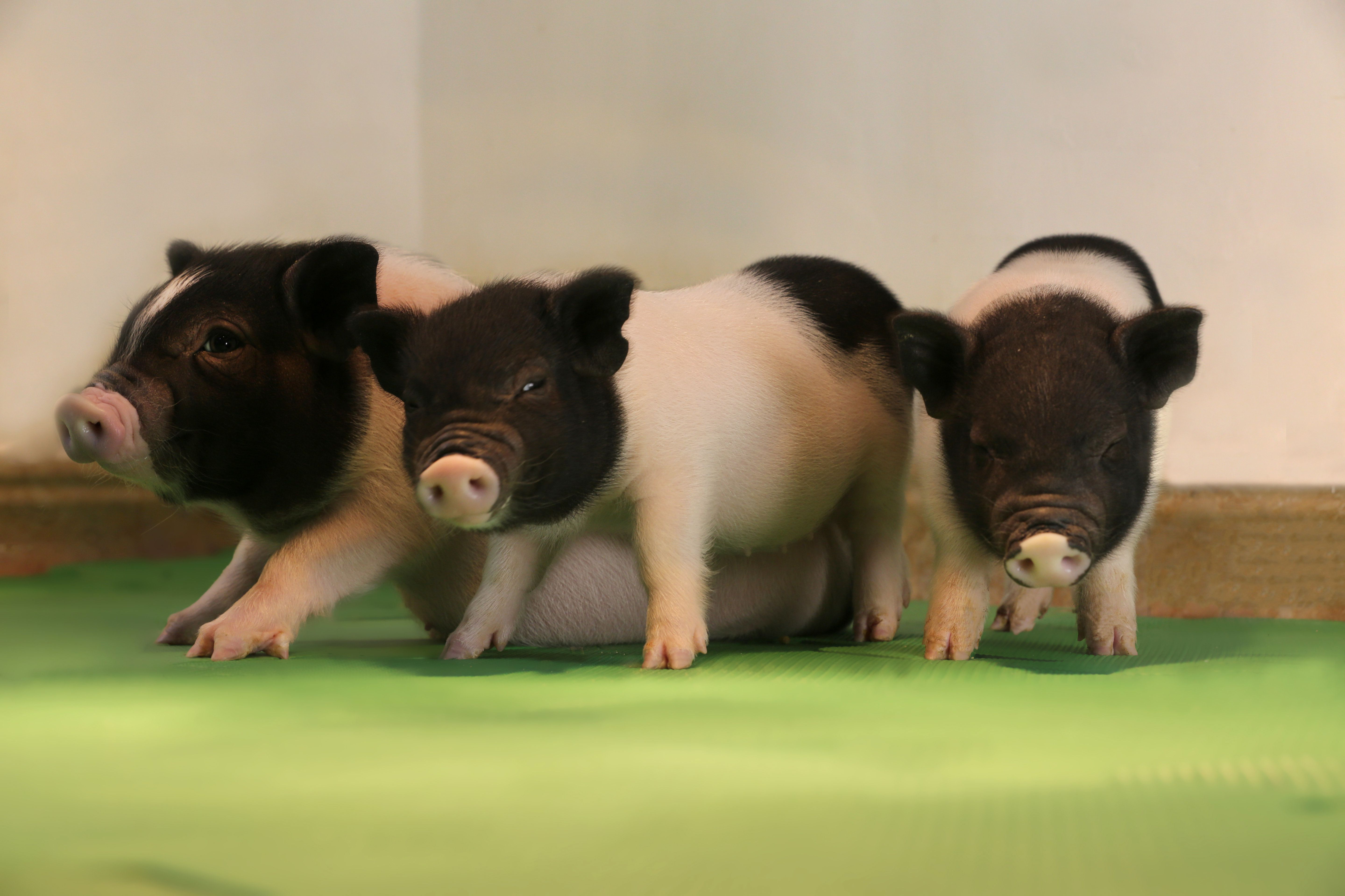 eGenesis' pigs are the first to be free of a group of pig-specific viruses that make their organs unsuitable for human transp