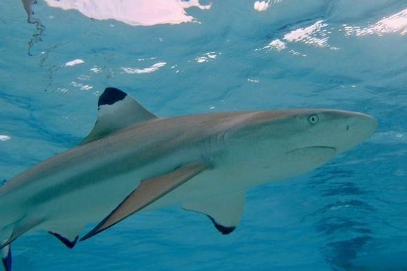 <em>Blacktip shark (carcharhinus melanopterus).</em>