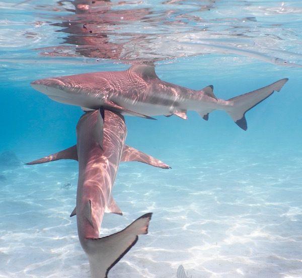 <em>Blacktip sharks (carcharhinus melanopterus).</em>
