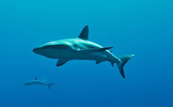 <em>Grey reef sharks (carcharhinus amblyrhynchos).</em>